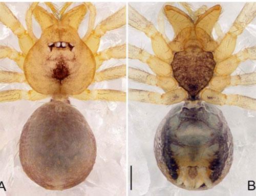 Loài nhện Pinelema tamdaoensis sp.nov.ở Vườn quốc gia Tam Đảo, tỉnh Vĩnh Phúc. Chúngkhác biệt với tất cả các loài khác thuộc giống Pinelema ở đặc điểm xúc biện con đực đặc trưng hình giọt nước, hành hình lưỡi liềm uốn cong về phía cuối.Ảnh: Zhao, Pham, Song & Li.