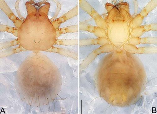 Nhện Pinelema pacchanensis sp.nov.ở hang Pắc Chấn, tỉnh Bắc Cạn. Đây là loài sống chuyên biệt trong môi trường hang động, là loài đặc hữu cho Việt Nam. Chúngkhác biệt với tất cả các loài khác thuộc giống Pinelema ở đặc điểm xúc biện con đực đặc trưng hình thìa xoắn ở đầu, hành mờ nhạt, túi chứa tinh hình ống.Ảnh: Zhao, Pham, Song & Li.Theo PGS Sắc, các phát hiện trên không chỉ có ý nghĩa trong khoa học mà còn có giá trị thực tiễn cao.Nọc bọ cạp là nguyên liệu tự nhiên tiềm năng cho ngành dược hiện tại và trong tương lai. Bên cạnh đó, loài nhện còn được biết đến như là những thiên địch quan trọng góp phần phòng chống tổng hợp sâu hại bảo vệ cây trồng.