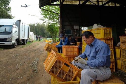 Takao Shito (ngoài cùng)làm việc tại nông trại gần sân bay Narita hôm 12/4. Ảnh: AFP