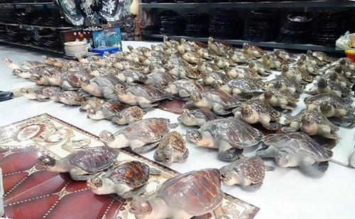 Các tiêu bản rùa được phát hiện tạicửa hàng mỹ nghệ của bà Thu. Ảnh:Quang Bình.