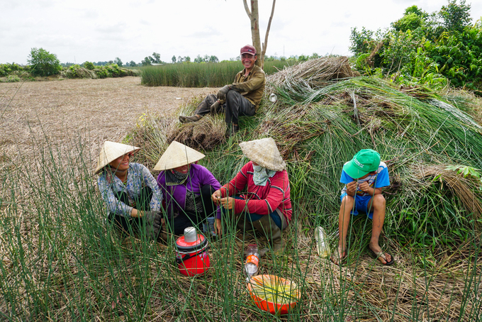Trồng cỏ bàng thu trăm triệu đồng mỗi năm ở miền Tây