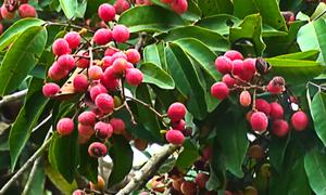 Vải rừng 30 năm mới cho trái ở vùng Thất Sơn, An Giang