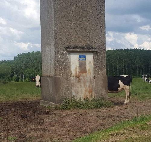 Bò sữa siêu dài.