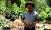 Vườn mắc ca 300 gốc cho 4 tấn hạt một năm