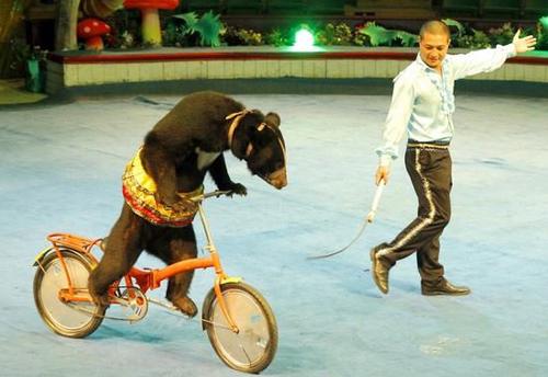 Gấu đạp xe diễn xiếc. Ảnh: Rạp xiếc trung ương.