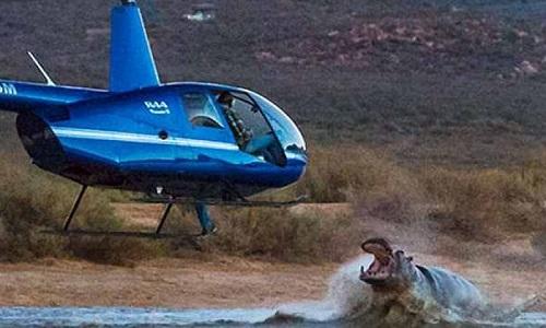 Con hà mã hung dữ tấn công trực thăng bay trên mặt nước. Ảnh:Albert Jansen van Roosendaal.