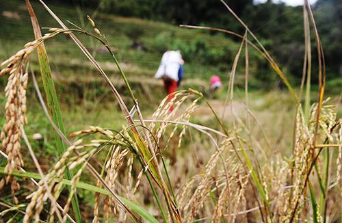 Người dân vùng cao huyện Nam Trà My canh tác lúa nước gần khu vực khe suối. Đến mùa thu hoạch họ gùi về đưa lên kho cất giữ. Ảnh: Đắc Thành.