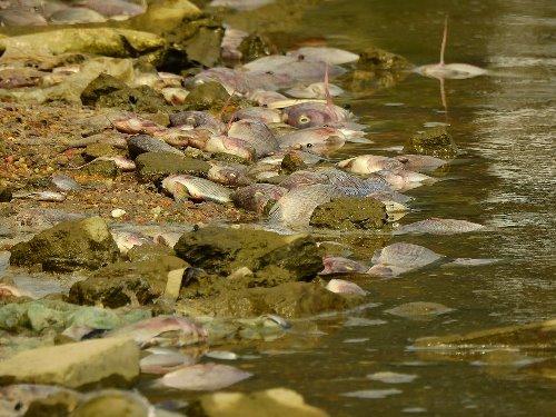 Cá chết dạt vào bờ thành từng mảng lớn. Ảnh: Minh Cương