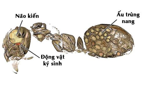 Kiến nhiễm sán lá gan lancet sẽ tự sát.Ảnh:Natural History Museum.