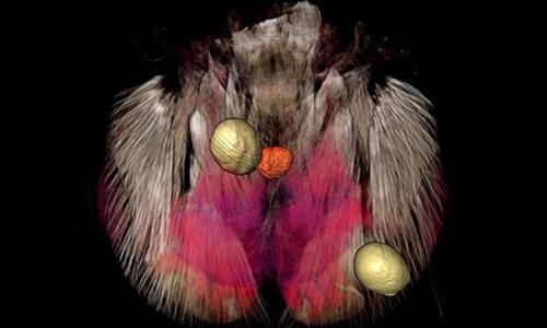 Bên trong đầu của một conkiến bị động vật ký sinh điều khiển. Ảnh: Natural History Museum.