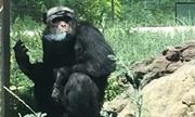 Tinh tinh nghiện hút thuốc trong vườn thú Trung Quốc