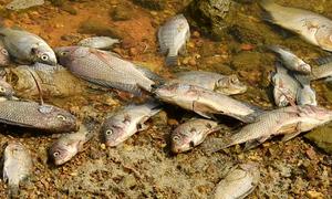 Cá chết hàng loạt tại hồ điều hòa ở Hạ Long