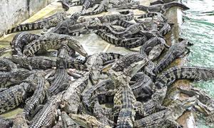Chăm sóc 2.000 con cá sấu trong trang trại ở Sài Gòn
