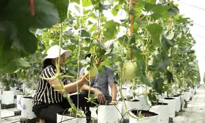 Lào Cai trồng dưa lưới trong nhà màn cho 40 tấn mỗi năm