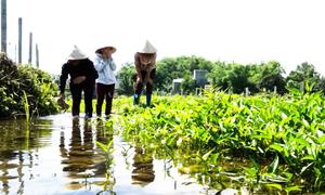 Rau muống ngon ngọt trồng trên nền khoáng tại Kim Bôi