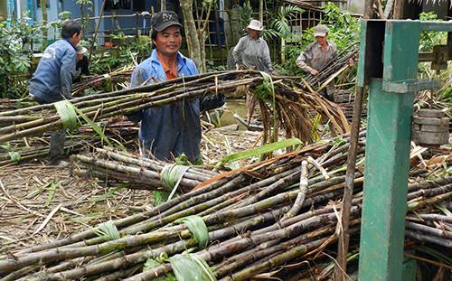 Các công đoạn trồng, thu hoạch mía thủ công khiến chi phí gia tăng. Ảnh: Cửu Long