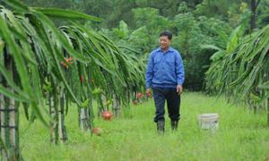 Nông dân Uông Bí thu 40 tấn thanh long mỗi năm