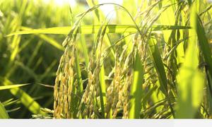 Cánh đồng 'một giống' giúp Mường Khương giữ giống lúa đặc sản