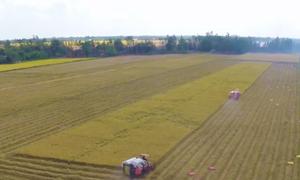 Nông dân cùng nhà khoa học bảo tồn giống lúa quý