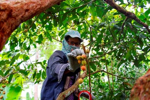 Tuổi 61, bà Hiều vẫn bắc thang trèo cây thu hoạch dâu tiên. Ảnh: Võ Thạnh