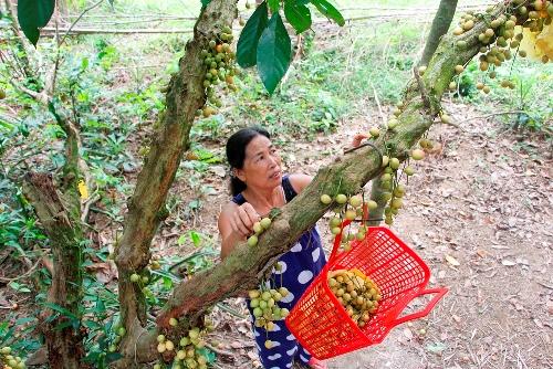 Gốc dâu ở gia đình bà Giáp có nhiều cây trên 100 năm tuổi. Ảnh: Võ Thạnh