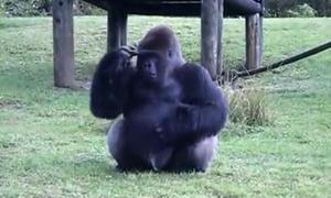Khỉ đột dùng ký hiệu giao tiếp với người xem tại sở thú Mỹ