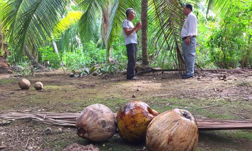 Dừa khô rụng quanh vườn do nông dân chờ lên giá. Ảnh: Hoàng Nam