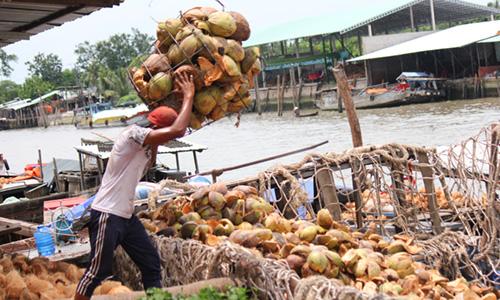Thu nhập từ dừa năm nay giảm còn phân nửa. Ảnh: Hoàng Nam
