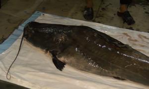 Ngư dân bắt được cá lăng hơn 100 kg quý hiếm trên sông Tiền