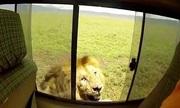 Sư tử nổi giận dọa cắn khi bị người vuốt lưng