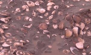 Gần 300 tấn nghêu chết ở Trà Vinh