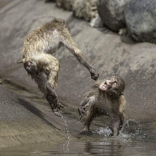 Kungfu của khỉ.