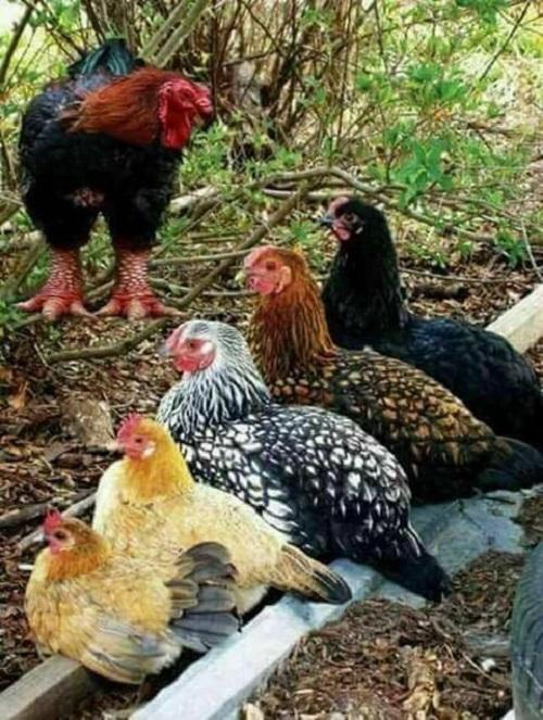 Vi Tiểu Bảo phiên bản gà.