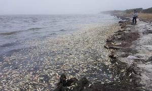 Gần 100 tấn xác cá trích dạt vào bờ biển Nga