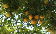 Nông dân Lâm Hà trồng cam canh thu 20 tấn quả mỗi năm