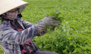 Sản xuất rau sạch tại Ngọc Lãng, Phú Yên