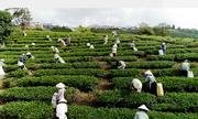 Lý do trà Cầu Đất qua trăm năm vẫn thơm ngon