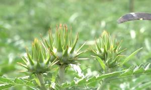 Vườn dược liệu Lào Cai cung ứng 600 tấn mỗi năm