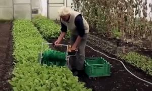 Nông cụ giúp thu hoạch 80kg rau ăn lá trong một giờ