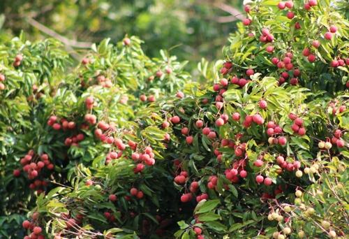 Sau cuộc giải cứu của UBND huyện Cát Hải, hiện số vải thiều vẫn còn gần 100 tấn đang trong thời kỳ chín đỏ trên cây, người dân buồn không thu hoạch bởi giá rẻ, không thương lái. Ảnh: Giang Chinh