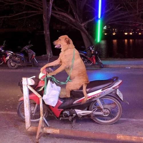 Khi cún cưng trở thành tài xế.