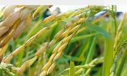 Hai loại gạo đặc sản của núi rừng Mường Lò