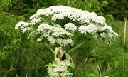 Loài cây có thể gây bỏng độ ba và mù vĩnh viễn