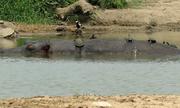 Đàn rùa trèo lên lưng hà mã phơi nắng