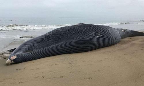 Xác con cá voi xanh bị tàu biển đâm trúng trên bãi biển San Francisco. Ảnh: Fox News.