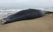 Cá voi xanh dài 19 mét bị tàu biển đâm gãy cột sống