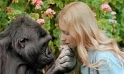 Khỉ đột biết giao tiếp bằng ngôn ngữ ký hiệu qua đời