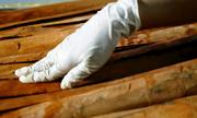 Trà quế Văn Yên cho sản lượng 70 tấn mỗi năm