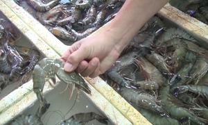 Tôm bơm tạp chất trong hai cửa hàng hải sản ở Sầm Sơn