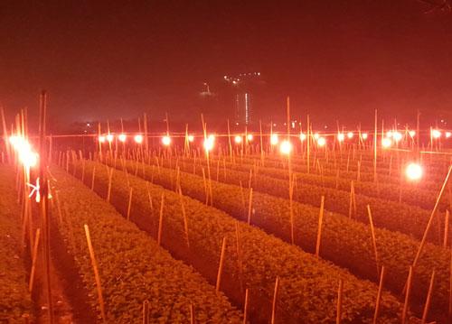 Đèn ánh sáng đỏ dùng chiếu sáng cho hoa cúc ở làng hoa Tây Tựu, Hà Nội. Ảnh: P. Hòa.